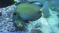white-freckled Acanthurus maculiceps - VERY RARE marine fish cuc rare