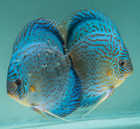 2.5 inch Blue Turquoise fish after superb pair