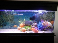 17 CM LARGE GREEN & RED SEVERUM ACCEPT � PAID � FOR HIM
