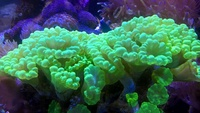 Staghorn (Bali Slimer), Green Leathers, Toxic Green Candy Cane, Fire & Ice Zoas, Frags