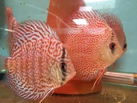 New stock..STENKER DISCUS IN YORKSHIRE