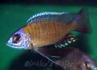 Mikes Rifts - Malawi and Tanganyikan cichlid importer and retailer