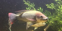 mozambique mouthbrooder Breeding Pair Oreochromis mossambicu
