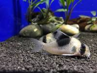 Huge selection of Corydoras Catfish in stock @ The Aquatic Store Bristol 01.10.17