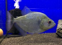 Serrasalmus rhombeus Xingu Black Piranha in stock @ The Aquatic Store Bristol 01.10.17