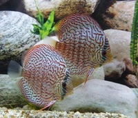 @@ STENDKER DISCUS NORTH EAST ENGLAND @@ NEW SHIPMENT AVAILABLE NOW @@ @ DURHAM DISCUS :: NORTH EAST ENGLAND