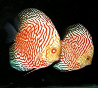 Plymouth Discus, Quality Discus At The Lowest Possible Prices.