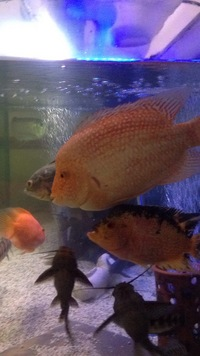 "Male Super red Texas 11""/12"" stunning fish looking to swap or �0"