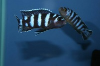 K&C RIFT VALLEY CICHLIDS NORTHWEST  NEW SHIPMENT