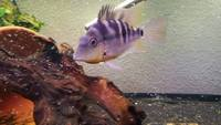 thoricthys passionis (yellow fire mouth) cichlid fry for sale