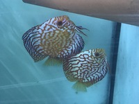 Discus pair for sell �0