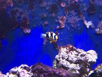 Male/Female Pearl Eye Clarkii Clownfish, Captive-Bred Marine Reef Fish (Amphiprion clarkii)