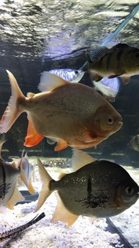 Asian arowana , stingray , albino pacu , bass etc