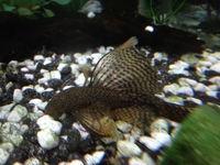 FOR SALE Baby Bristlenose Catfish Long Finned