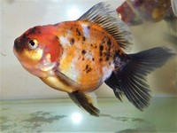 Beautiful Calico Oranda Fancy Goldfish