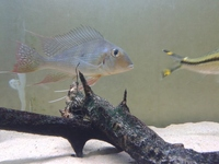 MIXED DISCUS AND OTHER LARGE FISH FROM �