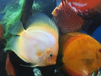 discus to the uk