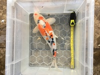 4 X Good Quality Koi for Sale Apx 15 inches