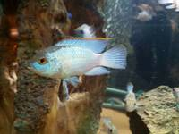 Electric blue acaras