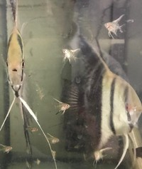 Angel Fish, Proven Breeding Pair Tuxedo & Peruvian Angels (�)