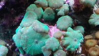 MUSHROOM COLONIES AND FRAGS FOR SALE