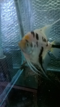 ><((((º> Four Grade A Manacapuru Marble Angel Fish. 6 month old fish for only £1.60 each ><((((º> Leyland
