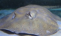 16 inch hybrid female Ray �0 mature Portsmouth or px or smaller ray