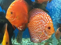 OVER 1000 DISCUS @ CHESHIRE OAKS DISCUS . NO GENERIC PHOTOS, ACTUAL STOCK VIDEOS
