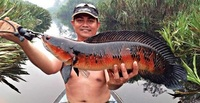 SUPER RED SNAKEHEAD EMPEROR CHANNA MARULIODES