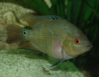 5 inches Female TRIMAC  inches Trimaculatus inches (100% pure bred)