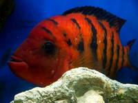QUALITY (F1) Red Terror FESTAE (3 - 4.5 inches ) only a few left � each