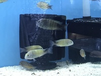 Tropheus and other tangs for sale