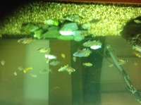Mixed cichlid fry