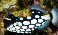 Clown Trigger Fish �5