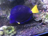 Purple tang - large approx 6 inches - �