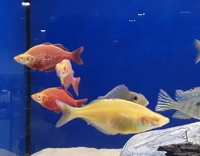 Albino New Guinea Red Rainbowfish @World of Water Bicester