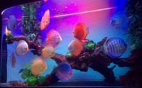 Various top quality discus fish.
