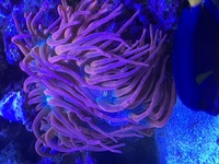 ROSE TIP ANEMONE FOR SALE