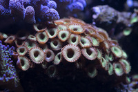 LARGE CORALS, FISH AND LIVE ROCK FOR SALE- TANK SHUT DOWN