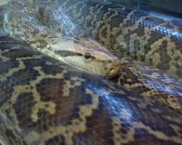BURMESE PYTHONS - SWAP for Asian arowana female ray other oddballs...