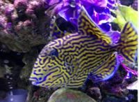 Bluelined Triggerfish