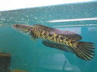 Orange spotted snakehead