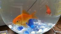 Two goldfish looking for new and caring home