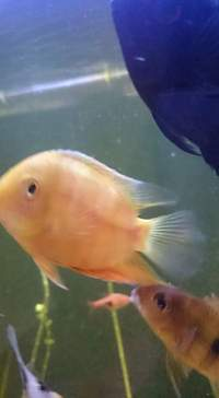 Green and Golden severum for salr