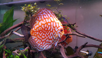 four mixed young adult discus for sale