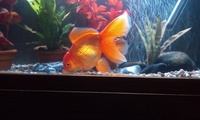 Fancy Goldfish for sale