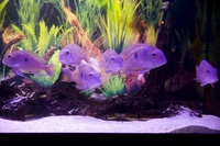Breeding group of 6 adult Geophagus Pindare.