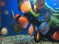 CHESHIRE OAKS DISCUS, LARGEST UK STOCKIEST OF DISCUS FISH, WATCH VIDEO NOW
