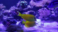 Marine tangs sold sold sold