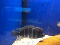 ADULT KIGOMA FRONTOSA NOW IN STOCK AT CHILTON AQUATICS